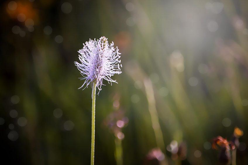 Fleur de plantain