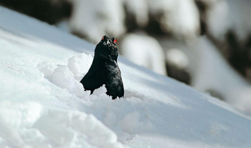 tétras-lyre sous la neige