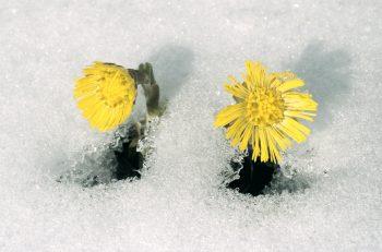 tussilage sur la neige