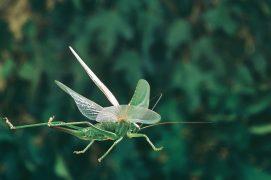 Voler permet à certains insectes musiciens de parcourir de grandes distances. Et ceux qui n'ont pas d'ailes peuvent sauter. / © Joël Héras