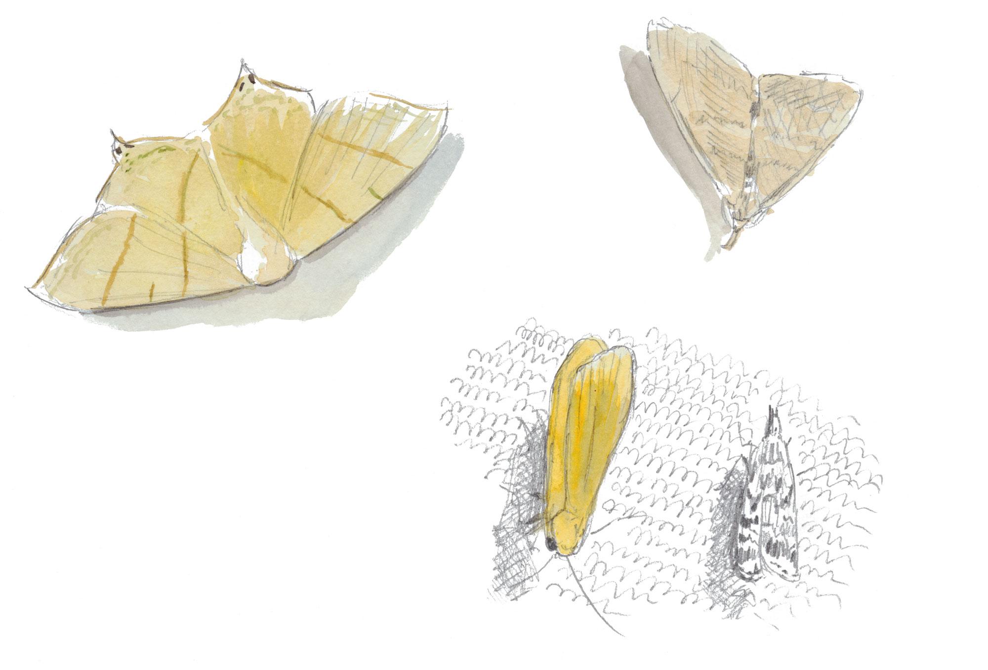 papillon Phalène du sureau, manteau jaune, herminie barbue