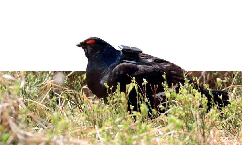 s lâchers de tétras lyre dans les Hautes-Fagnes en Belgique - La Salamandre