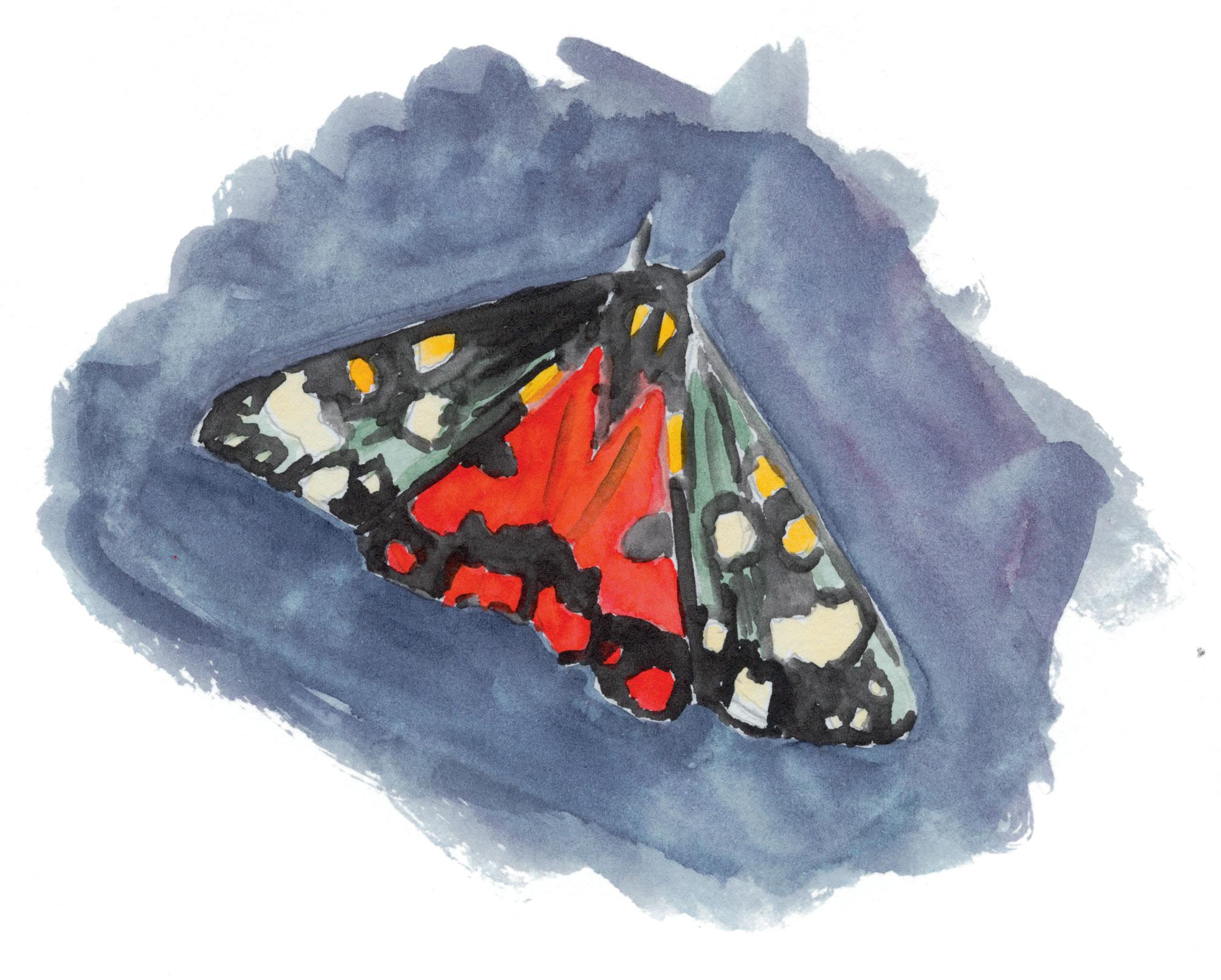 papillon Ecaille marbrée