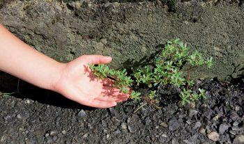 Partez à la recherche des plantes sauvages des ville