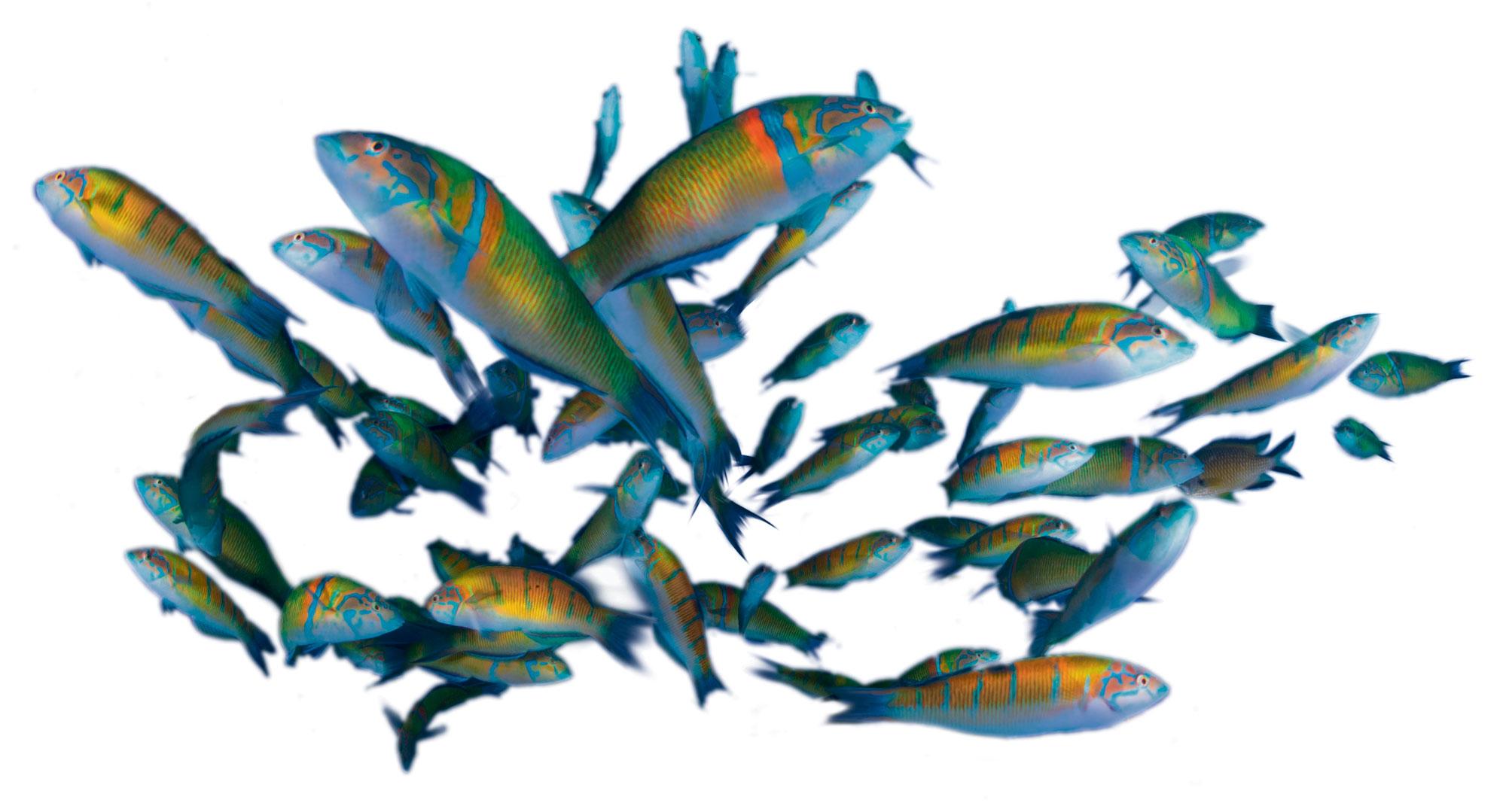 Groupe de girelles-paon
