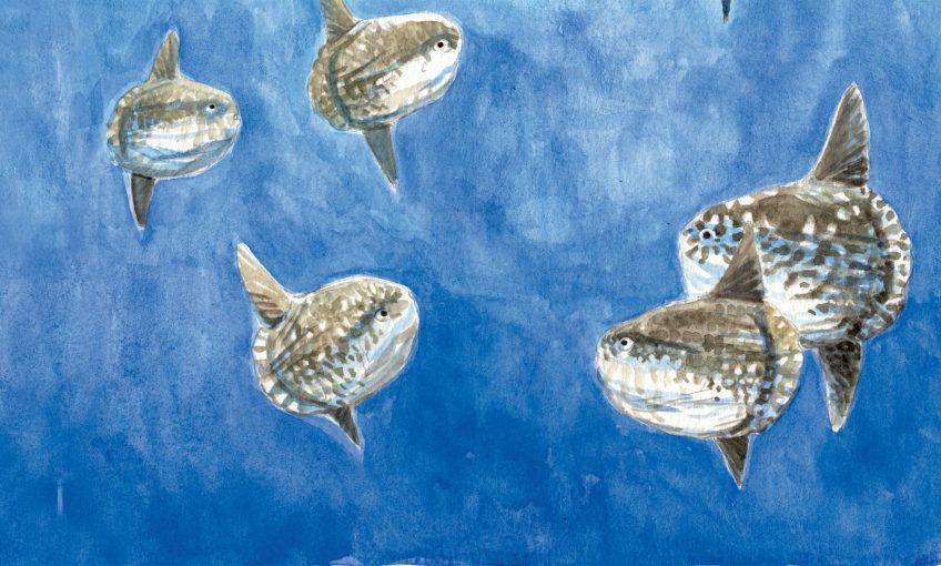 Groupe de jeunes poissons-lunes