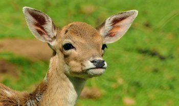 Il garde Bambi à l'œil - #1