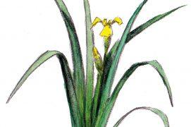 Le bel iris des marais produit un nectar sucré apprécié des bourdons. Ses feuilles pointues en forme d'épée atteignent parfois 1,50 m. Ses rhizomes servaient autrefois à teindre le cuir en noir à condition de les bouillir avec de la limaille de fer. Les pétales d'or, si insolites, laissent place à de petits coffres contenant de précieuses mais vénéneuses graines. / © Feldrik Rivat