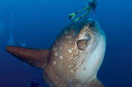 La taille impressionnante d'un Mola adulte dissuade la majorité des prédateurs sous-marins. Mais il peut arriver qu'un requin ou un lion de mer les attaque. En vérité leurs plus grands ennemis sont les sacs en plastique à la dérive qui ressemblent à s'y méprendre à de juteuses méduses. / © Minden Pictures / Richard Herrmann / Biosphoto
