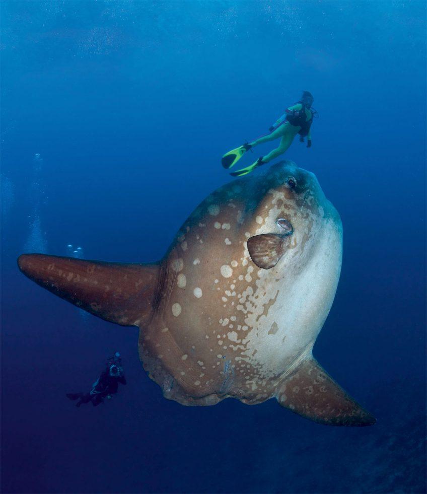 poisson-lune filmé par des plongeurs