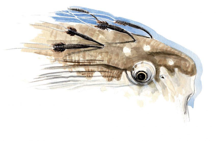 Tête de poisson-lune infestée de crustacés parasites