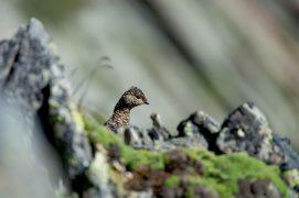 Lagopède alpin / © Bertand Gabbud