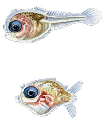 Larves de poisson-lune