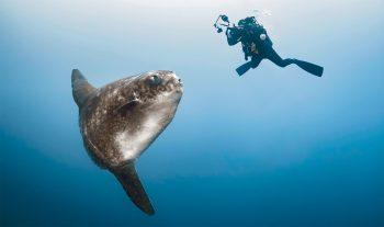 Les plongeurs qui ont eu la chance d'entrer dans l'orbite de la lune des océans décrivent un géant pataud et peu farouche. Mais le placide Mola peut leur fausser compagnie en un battement de nageoire. A la surface, il peut se donner des airs de requin et même jaillir de l'eau comme une raie manta.