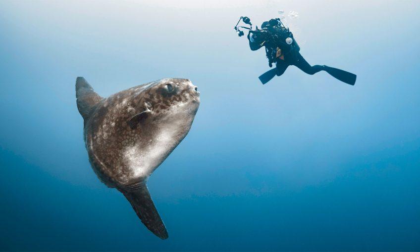 Plongeur qui filme un poisson-lune