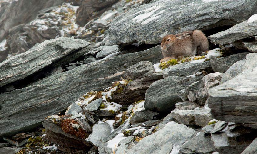 Le lièvre variable en photo en pelage d'été par Bertrand Gabbud - La Salamandre