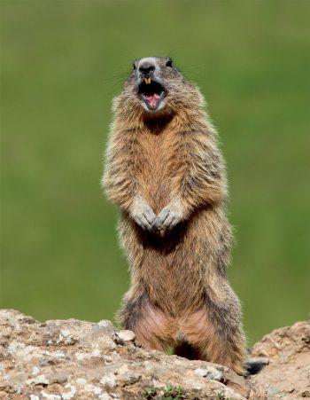 Marmotte qui alarme