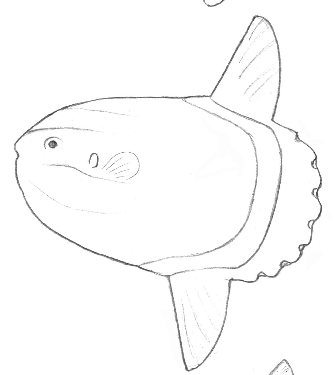 Mola alexandrini une des 3 espèces de poisson-lune