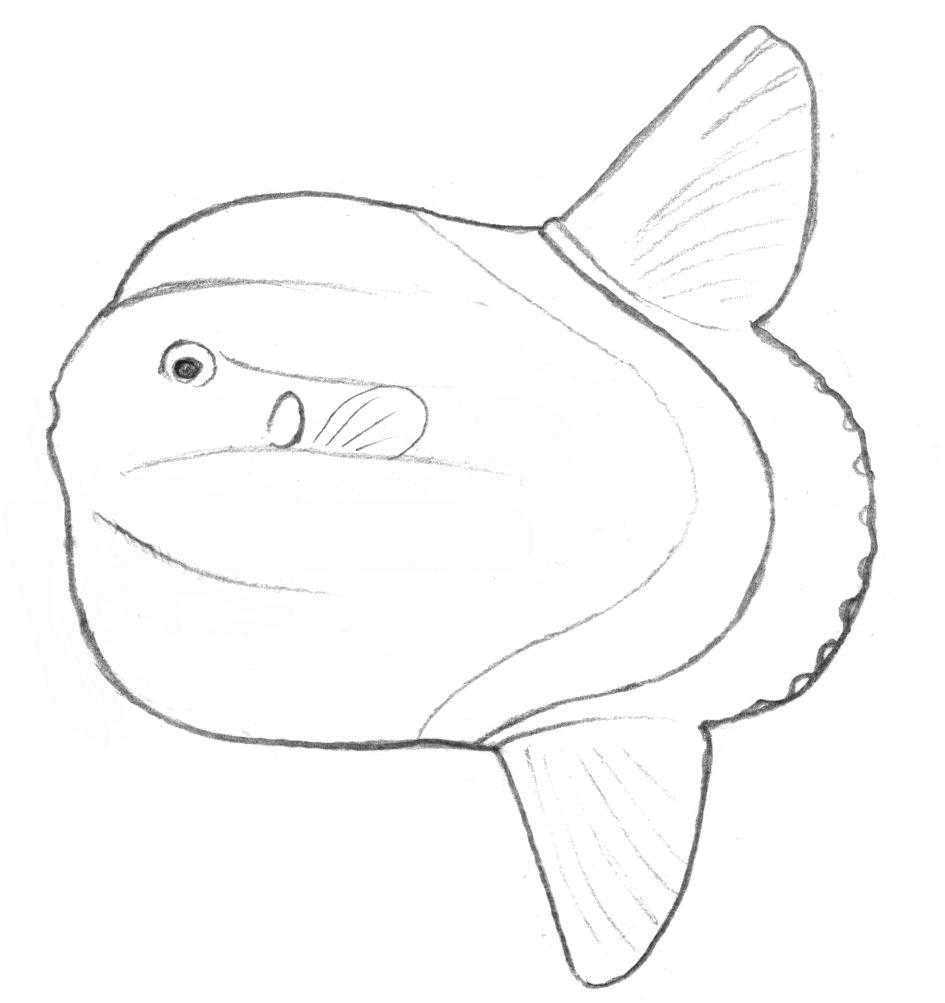 Mola mola une des 3 espèces de poisson-lune