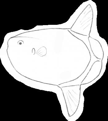 Mola tecta une des 3 espèces de poisson-lune