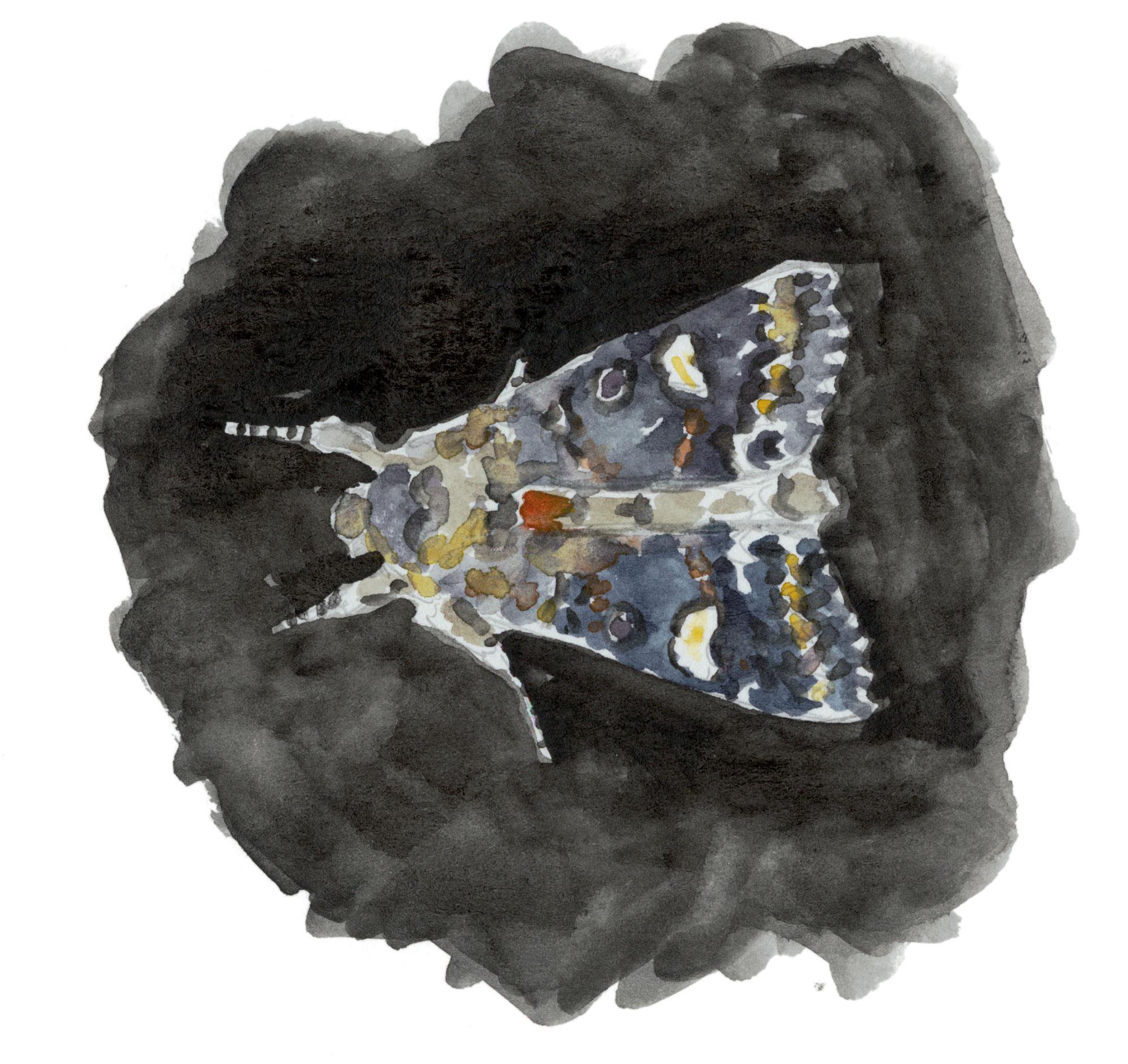 Papillon Noctuelle de la persicaire