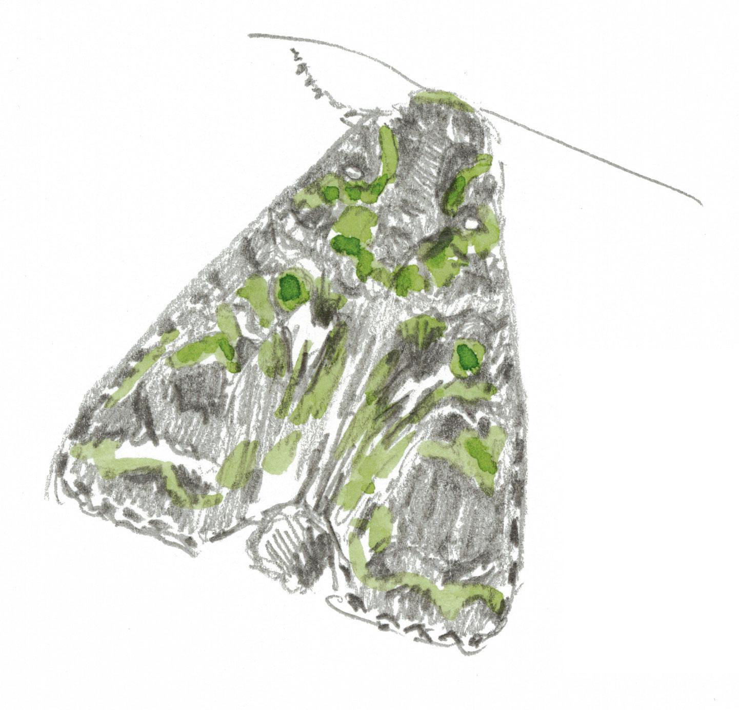 papillon Noctuelle de l'arroche