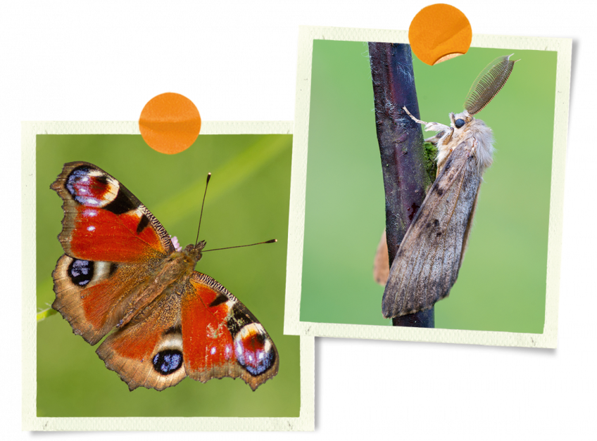 Paon-du-jour et papillon de nuit