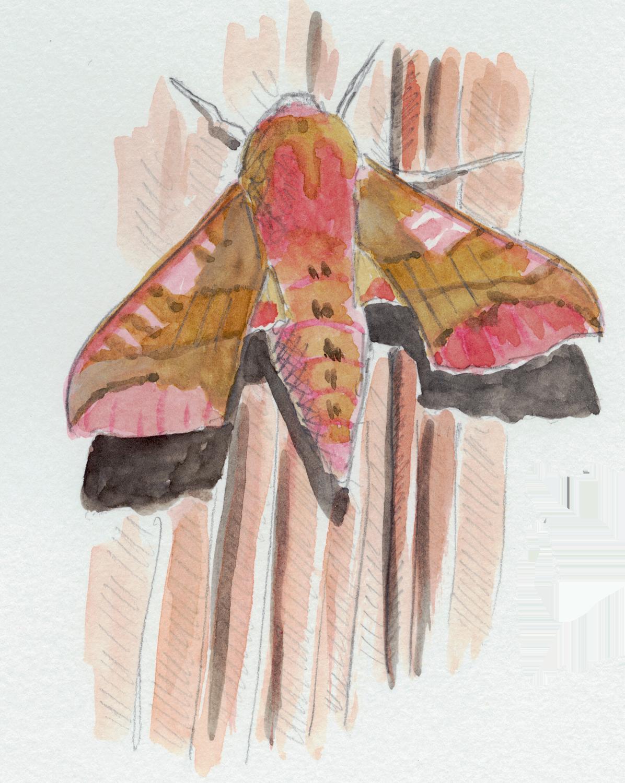 papillon Petit sphinx de la vigne