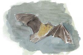 Pipistrelle attirée par les papillons de nuit / © Jean-Philippe Paul