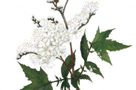 Enfin, la reine-des-prés dévoile un parfum capiteux lorsqu'elle fleurit. Ses inflorescences décoratives font le bonheur des abeilles et des amateurs de tisanes ou de desserts. Son ancien nom, la spirée, a donné son appellation à l'aspirine. Ses feuilles contiennent en effet des composés à l'origine du médicament. Ses fruits en spirale régalent les oiseaux granivores   / © Feldrik Rivat