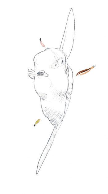Poisson-lune qui se fait nettoyer des parasites par des labridés