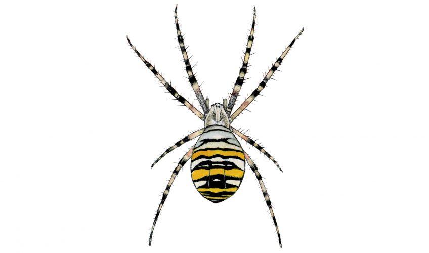 araignée, argiope frelon