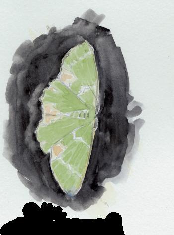 Papillon Verdelet