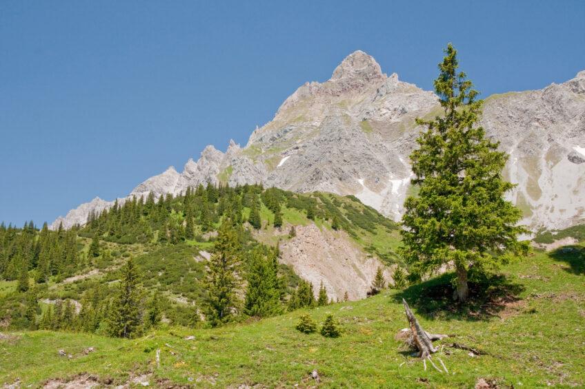 arolle dans un décor de montagne