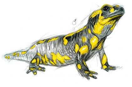 Dessin Salamandre dessins nature - photos, vidéos, sons naturalistes - la salamandre