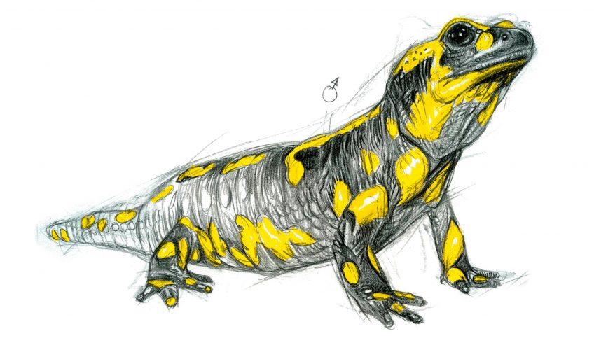 La reproduction de la salamandre tachetée
