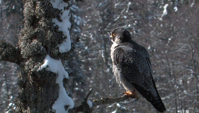 chasse du faucon