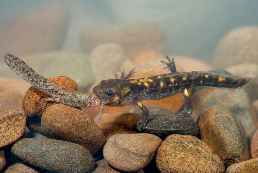 cannibalisme chez les larves de salamandre
