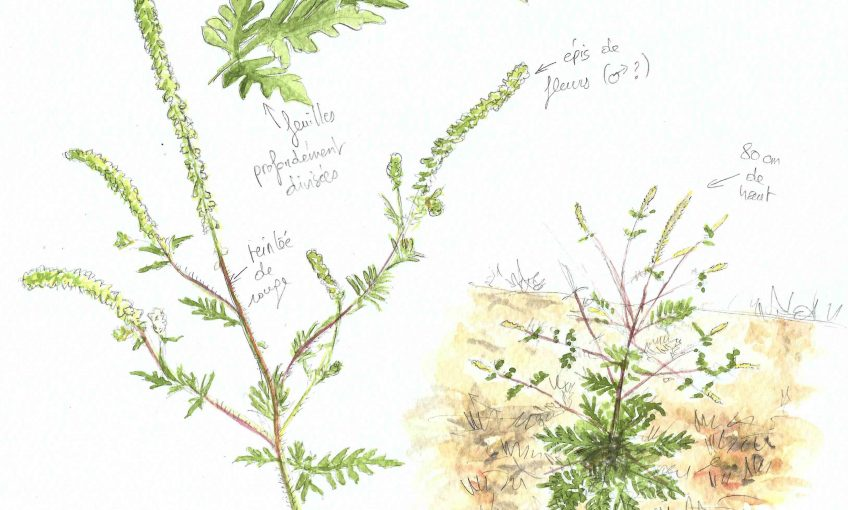 Ambroisie au jardin - La Salamandre