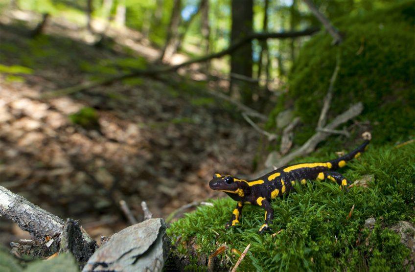 Journal d'une salamandre