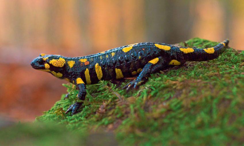 Salamandre tachetée
