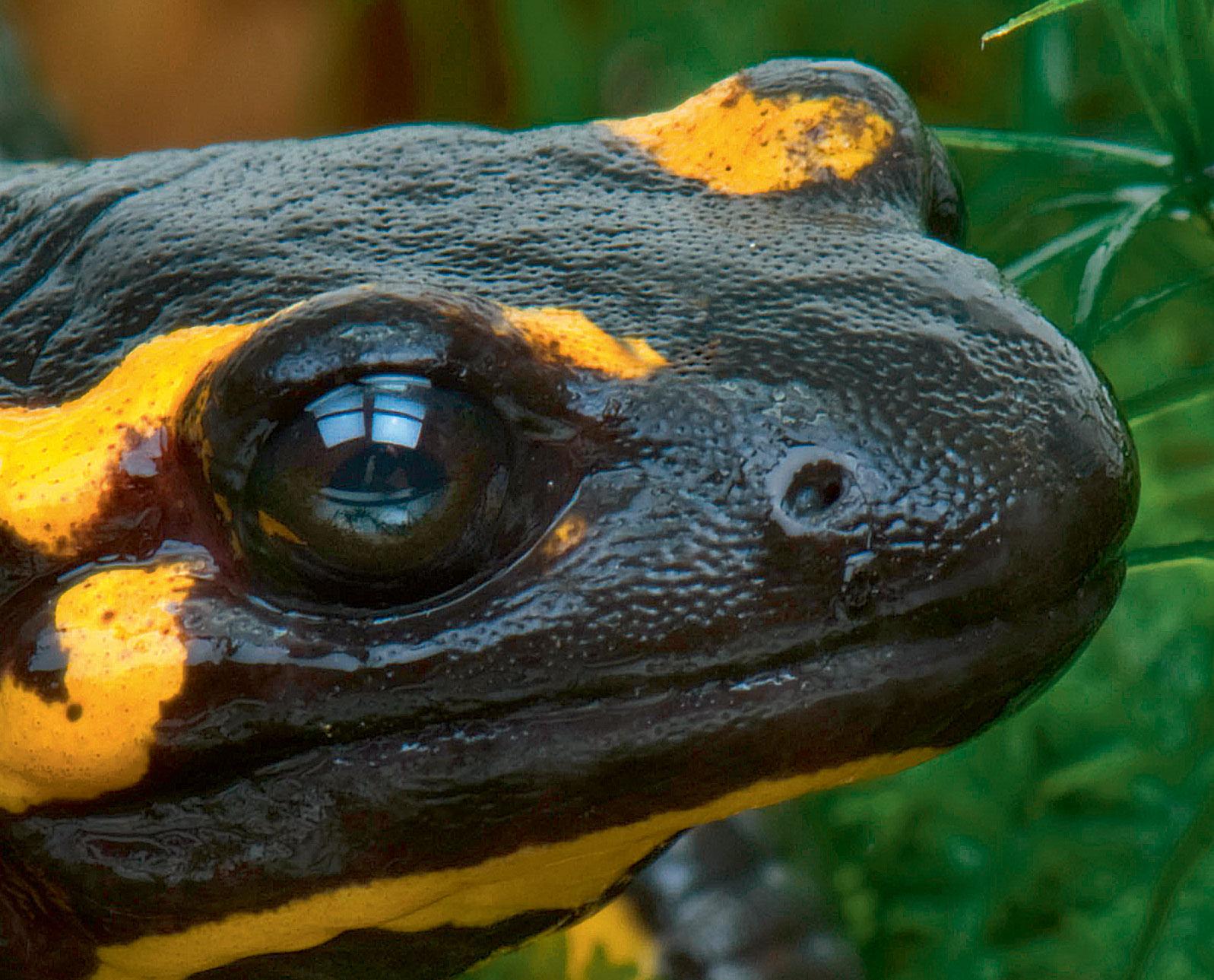 l'odorat de la salamandre tachetée