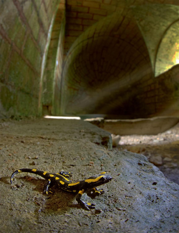 salamandre tachetée dans une cave