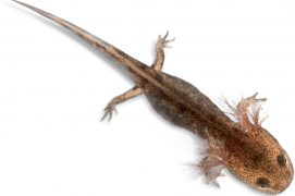 Larve de salamandre / © Eric Isselée / fotolia
