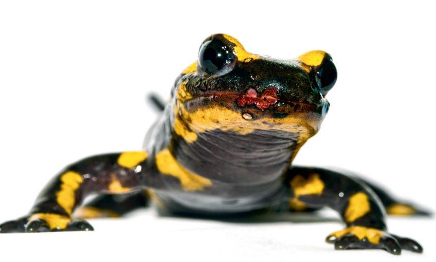 Un champignon qui menace de faire disparaître la salamandre tachetée