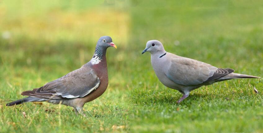 Face à face pigeon et tourterelle