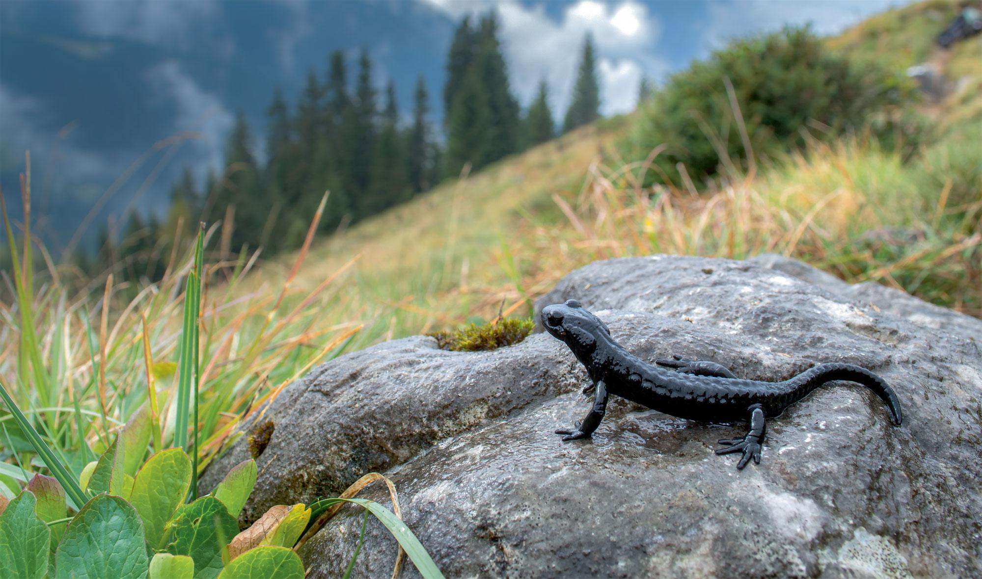 Les salamandres de montagne : salamandre noire et salamandre de Lanza