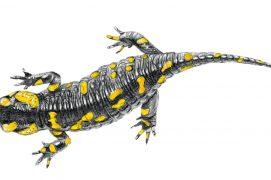 Salamandra salamandra beschkovi / © Marcello Pettineo
