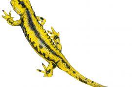 Salamandra salamandra fastuosa / © Marcello Pettineo