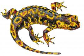 Salamandra salamandra gallaica / © Marcello Pettineo